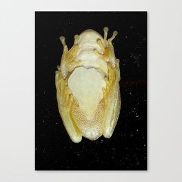 Underbelly The Soft Underside or Abdomen Of A Tree Frog Canvas Print