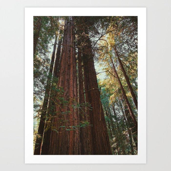 Redwood Trees Art Print
