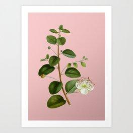 Vintage Caper Plant Botanical Illustration on Pink Art Print
