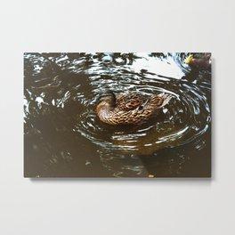 Mallard Duck Swimming in a pond Metal Print