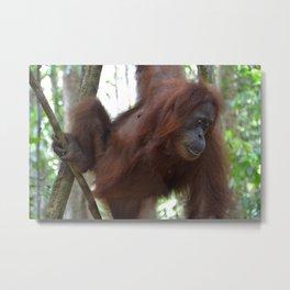 Bukit Lawang Orangutan Sumatra Metal Print