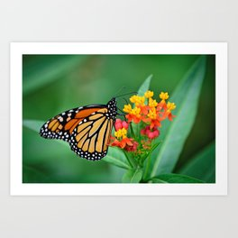 Monarch's Busy Day Art Print