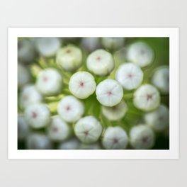 Wht-flowered Milkweed Art Print