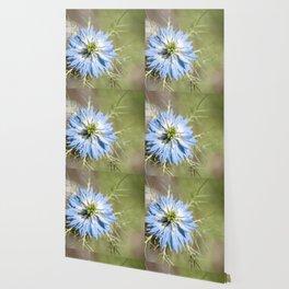 Blue flower close up Nigella love in the mist Wallpaper