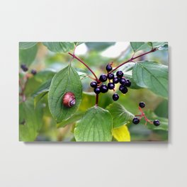 Poison or not : Snail with berries Metal Print