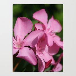 Pink Oleander Blossom Poster