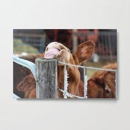 A steers licking post Metal Print