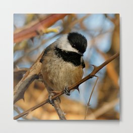 A Hungry and Hopeful Black-Capped Chickadee Metal Print