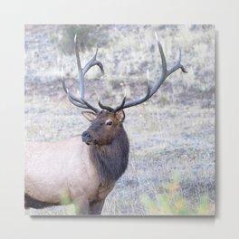 Watercolor Elk Bull 51, Estes Park, Colorado, Hindsight Metal Print