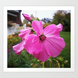 Lavatera flower with water drops in the morning Art Print