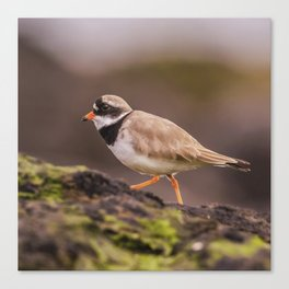 The little Ringed Plover Canvas Print