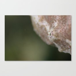 Frogfish eye Canvas Print