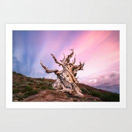 Ancient Bristlecone Pine Tree Sunset Art Print