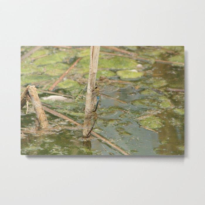 Pair of Green Darner Dragonflies Metal Print