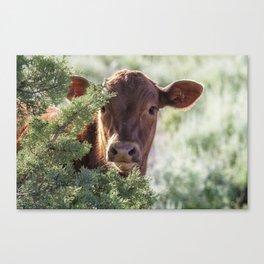 Shy Calf Canvas Print