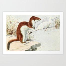 Fuertes, Louis Agassiz (1874-1927) - Burgess Animal Book for Children 1920 (Weasel) Art Print