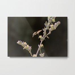 Hummingbird Drinking from Hesperaloe Parviflora Flower Metal Print
