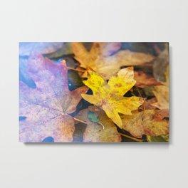 Bigleaf Maple Leaves Metal Print