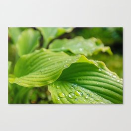 Hosta Leaves. Raindrops Canvas Print