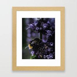 Bumblebee on Lamiaceae agastache I Framed Art Print