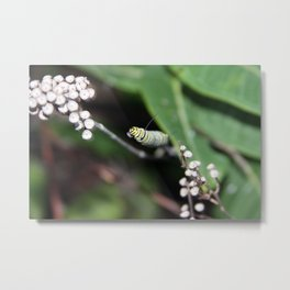 Monarch Caterpillar Metal Print
