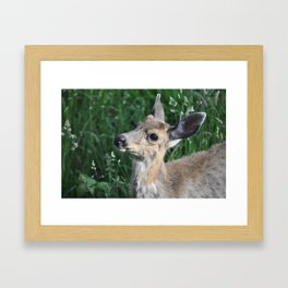 Young buck on the lawn 4 Framed Art Print