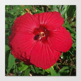 Hibiscus 'Fireball' - regal red star of my late summer garden Canvas Print