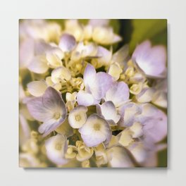 Delicate and Soft - Hydrangea flowers in lavender  Metal Print
