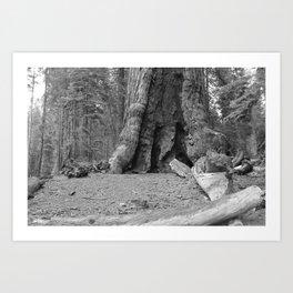Sequoia Tree in Black & White Art Print