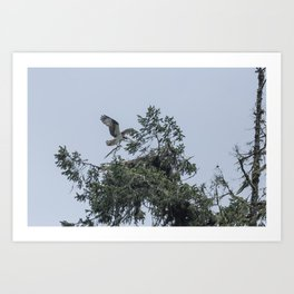 Osprey Reinforcing Its Nest 2017 Art Print