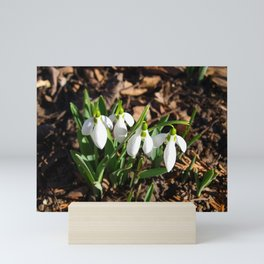 Snowdrops in the garden sunshine Mini Art Print