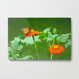 Butterfly on Mexican Sunflower Metal Print