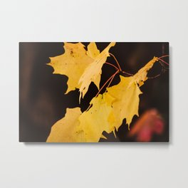 Yellow maple leaves Metal Print