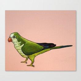 Monk Parakeet on Pink Canvas Print