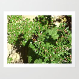 Bumble Bee on Cotoneaster  Art Print