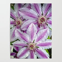 Clematis 2 Poster