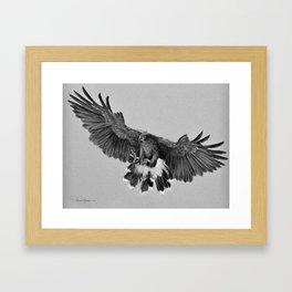 Harris Hawk Framed Art Print