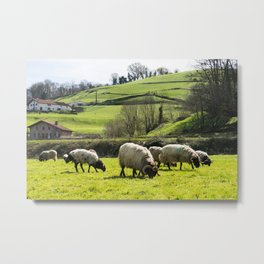Sheep in the field Metal Print
