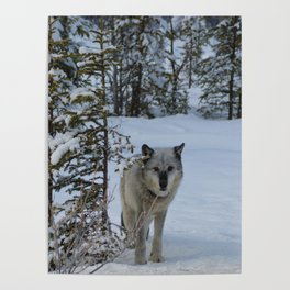 Lone wolf in the snow Poster