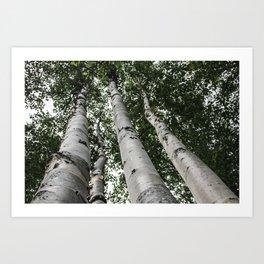 Birch Tree Forest By Magda Opoka Art Print