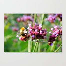 Carder Bumble Bee on Verbena Canvas Print