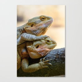 Couple of bearded dragons Canvas Print