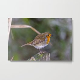 Mr. Robin. Metal Print