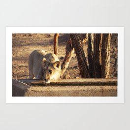 Asiatic Lion, Gir Forest, Gujrat, India Art Print