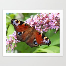 Peacock Butterfly Art Print