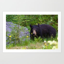 Black bear munches on some dandelions in Jasper National Park Art Print