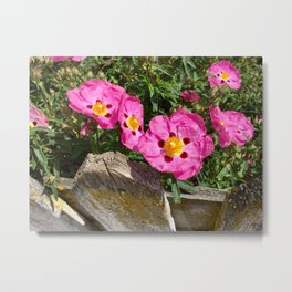 Picket fence and pink flowers Metal Print