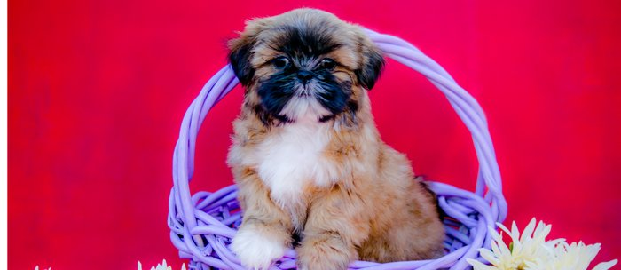 Brown And White Shih Tzu Puppy Standing In A Purple Basket With