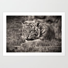 Sumatran Tiger Cub Little Growl Art Print