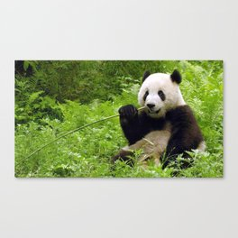 Exotic Super Dainty Grown Panda Bear Chewing On Bamboo Twig In Jungle Close Up Ultra High Res Canvas Print